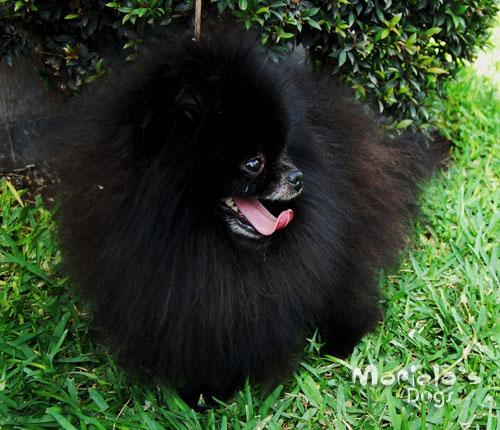 Juego: adivina la raza - Página 3 Pomeranian_negro_02_grande