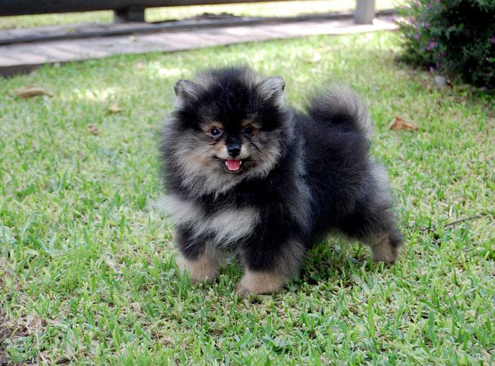 Pomeranian - Criadero Guadalajara
